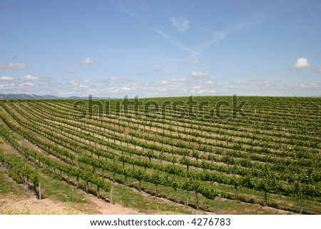 Paso Robles Grapes - stock photo