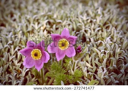 pasque flower - stock photo