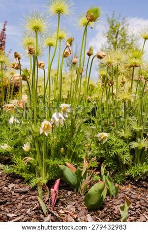 Pasque flower (Pulsatilla vulgaris). Also known as pasqueflower, common pasque flower or Dane's blood. - stock photo