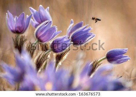 Pasque Flower with a little bee. - stock photo