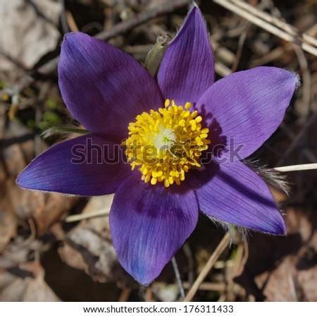 pasqueflower, Pulsatilla patens - stock photo