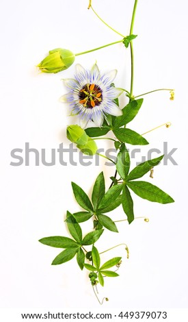 Passiflora on a white background - stock photo