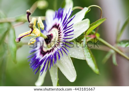 Passion flower (Passiflora incarnata) with details  - stock photo