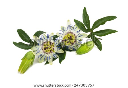 Passion flower (Passiflora) isolated on white background. - stock photo