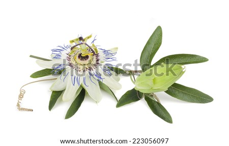 passion flower with leaves isolated on white - stock photo