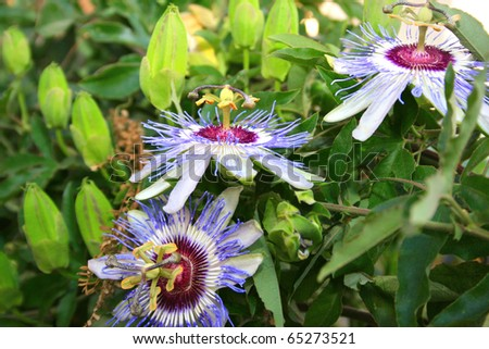 Passion flowers in the garden. - stock photo