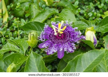 Passion fruit flower, Passiflora incarnata - stock photo