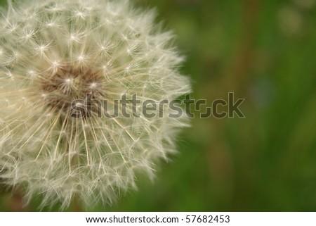 Past-blossoming dandelion - stock photo