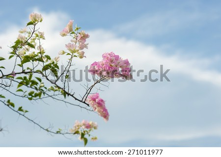 Pastel blooming bougainvilleas over winter blue sky. - stock photo