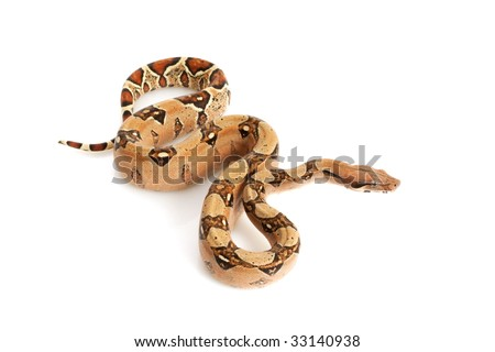 Pastel Jungle Columbian Red-tailed Boa (B. c. constrictor) isolated on white background. - stock photo