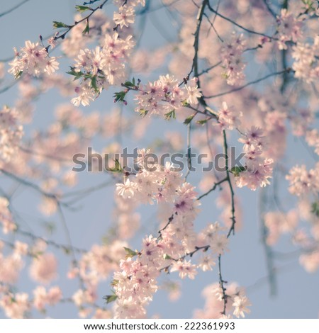 Pastel Retro Filter Pink Cherry Blossom Flowers For Spring (With Shallow DoF) - stock photo