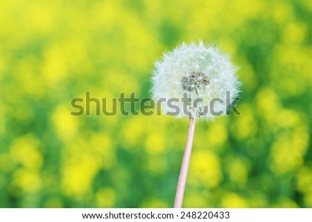 Pasture of Dandelions on a Beautiful Sunny Day  - stock photo