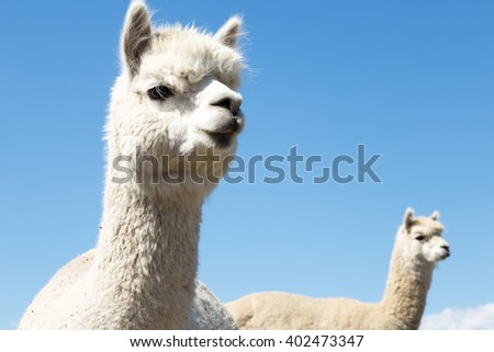 pasture with animals in summer day in new zealand - stock photo