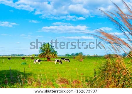 Pasture with cows in Uribelarrea, Argentina - stock photo