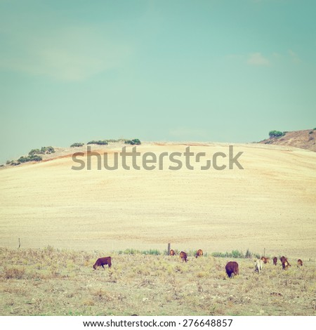 Pasture with Grazing Cows on the Background of Plowed Fields in Spain, Instagram Effect - stock photo