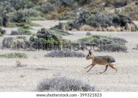 patagonia mara portrait while running in the grass background - stock photo