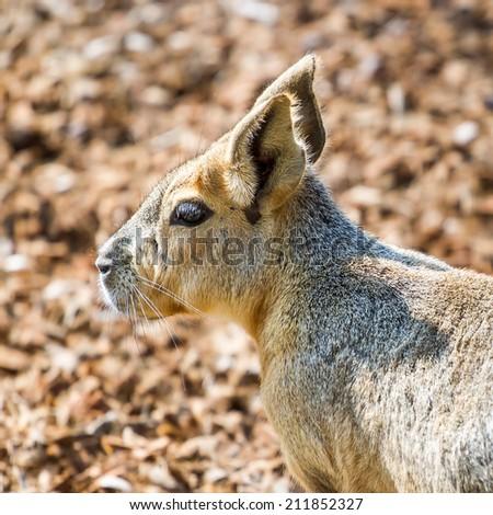 Patagonian mara closeup portrait - stock photo