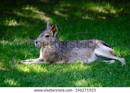 Patagonian mara resting in a shadow - stock photo