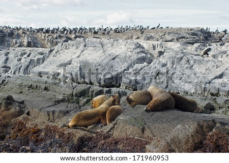 Patagonian Sea Lions and King Cormorants, Beagle Channel, Patagonia, Argentina, South America - stock photo