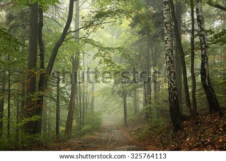 Path through the beech forest in foggy weather. - stock photo