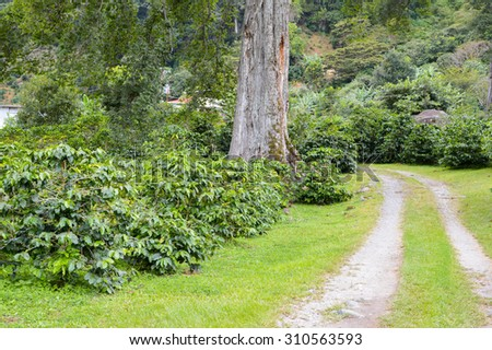 Path through the coffee plantation in the highlands of Boquete, Chiriqui region of Panama - stock photo