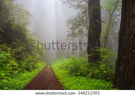 Path Through the Redwoods  - stock photo