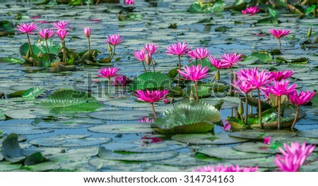 Path with flowers waterlily bloom in a row gun as roads on the lake. It's beautiful and it gives us a feeling of peace with this simple beauty - stock photo