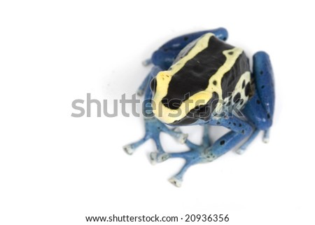 Patricia Dyeing Poison Dart Frog (Dendrobates tinctorius) on white background. - stock photo