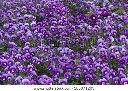 Pattern of purple pansies (Viola Tricolor) - stock photo