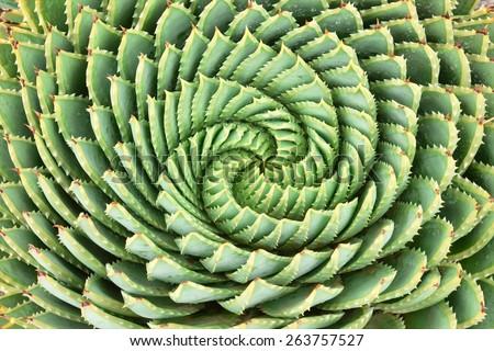 Pattern of spiral aloe (Aloe Polyphylla).  - stock photo