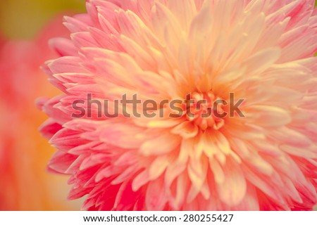 Pattern petal of dahlia flower in texture - stock photo