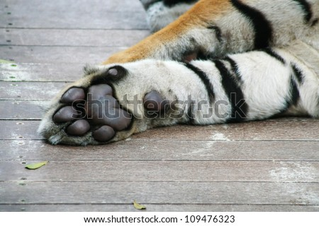 Paw of tiger - stock photo