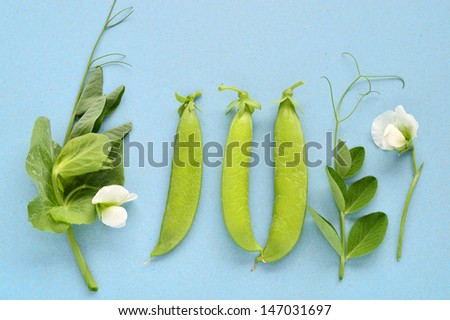 Pea pod, tendril and flower on light blue background. - stock photo