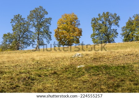 Peaceful autumnal landscape with yellow canopy maple tree uphill over clear blue sky. - stock photo