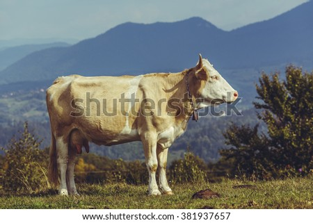 Peaceful brown female cow with bell. Organic cattle breeding. Cow dung, a natural ecological fertilizer, a renewable and stable source of green organic energy, used to produce biogas. - stock photo