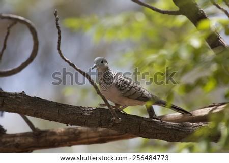 Peaceful Dove, Geopelia placida, walking in tree - stock photo