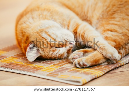 Peaceful Orange Red Tabby Cat Kitten Curled Up Sleeping In His Bed On Laminate Floor. - stock photo