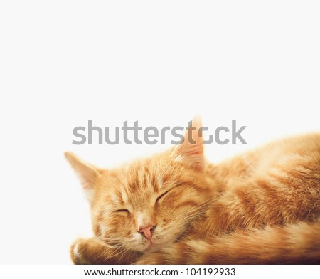 Peaceful orange red tabby cat male kitten curled up sleeping. White background - stock photo