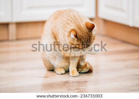 Peaceful Orange Red Tabby Cat Male Kitten Lick Washes Itself On Laminate Floor. - stock photo