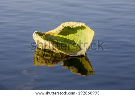 Peaceful scene of a curled lily pad floating in water with beautiful reflection - stock photo