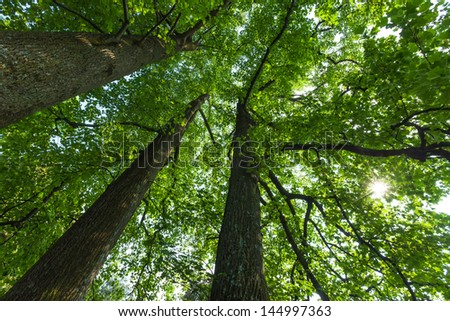 Peaceful, serene forest scene in the shade at the base of large, tall tulip trees, with green deciduous leaves. The view is up into the green tree canopies. The sun is peeking through the leaves. - stock photo