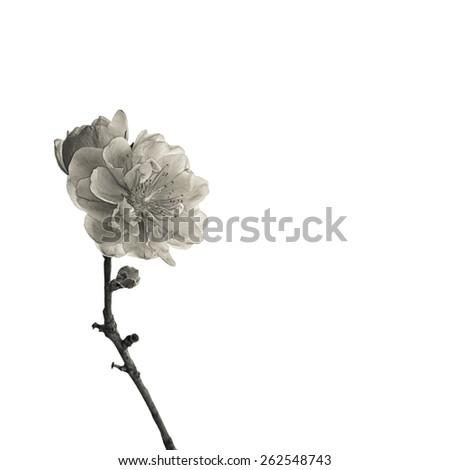Peach blossom single on white, macro close-up shot scenes, black and white photo. - stock photo