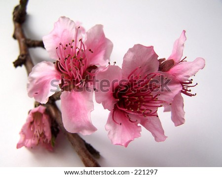 peach blossoms - stock photo