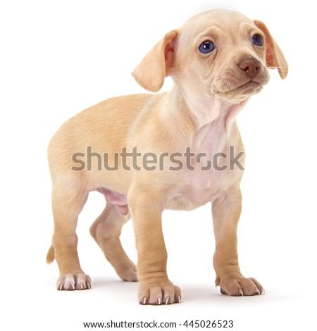 Peach Chihuahua Puppy - stock photo