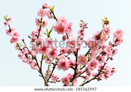 Peach flower blooming on  white background - stock photo