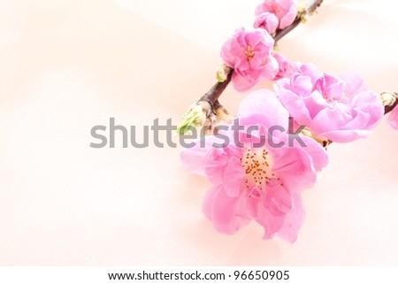 Peach flower on pink silk - stock photo