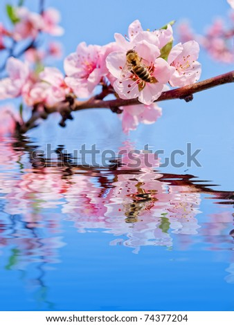 peach flower with bee - stock photo