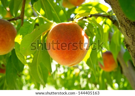 Peach fruit closeup on a branch of tree - stock photo