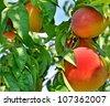 Peach on branch - stock photo