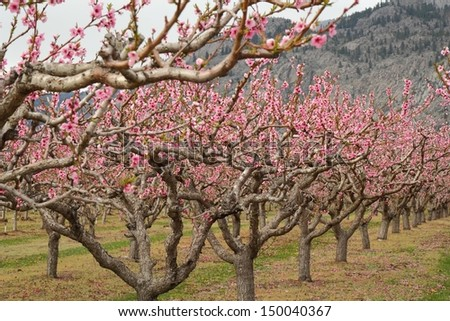 Peach Orchard Blossoms, Osoyoos. A peach orchard in Osoyoos full of blossoms in spring. Okanagan, British Columbia, Canada. - stock photo